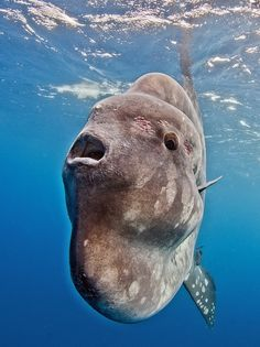 Photograph Sunfish by Tomas Kotouc on 500px, Sunfish (Mola mola) on Azores Islands - Portugal