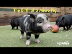 ▶ The Birth of a Micro Pig - Contains graphic scenes of piglets being born - YouTube