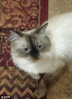 British pensioner Ian Lees  has launched an international appeal after his cat, Dinky (pictured) vanished while being flown from Dubai to England