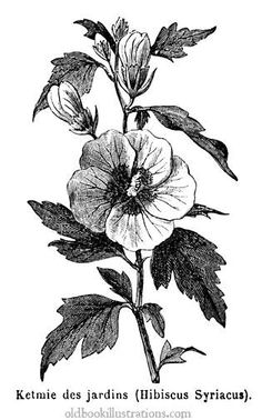 Illustration showing a Hibiscus, or rosemallow, is a large genus of about 200–220 species of flowering plants in the family Malvaceae