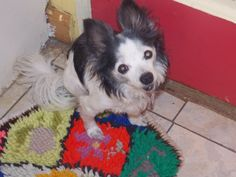 My Chihuahua Spike, he's 14.