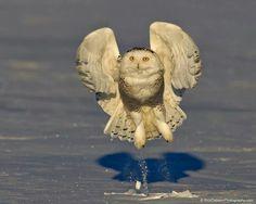Snowy owl liftoff   Rick Dobson