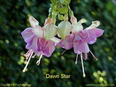 Fuchsia Dawn Star