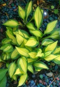 Hosta 'Cat's Eye' - mini