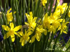 Blumenbild-Kunstdruck und Leinwandbild gelbe Narzissen