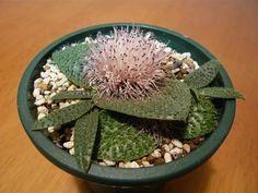 Massonia pygmaea.jpg