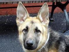 HUNTER is an adoptable German Shepherd Dog Dog in New York, NY.  ...