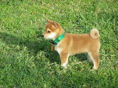shiba inu...my current obsession. and future doggie.