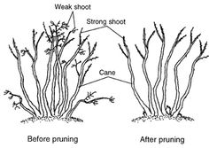 Blueberry Bush Care | Pruning | Planting | Port Kells Nurseries
