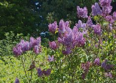 Fragrant lilacs developed to thrive in San Franciscos mild climate are known as low-chill varieties.
