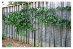 how to grow a passionfruit vine