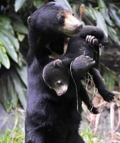 """Scientific Name: Helarctos malayanus Helarctos is Greek for """"sun"""" and """"bear"""". Malayanus is Latin and refers to """"located in Malaysia."""" Where Sun Bears Live: Sun bears live in mainland Southeas… Sloth Bear, Bear Cubs, Grizzly Bears, Tiger Cubs, Tiger Tiger, Bengal Tiger, Nature Animals, Animals And Pets, Wild Animals"""