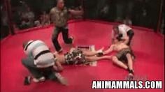 MMA Double Knockout. See the animation http://www.animammals.com/mma-double-knockout/195 #mma #ouch #gif