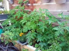 12 tomatplanter i 2 kapillærkasser