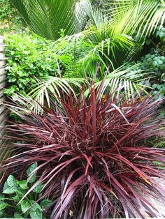 Cordyline 'red fountain' set amoung lush green sub-tropical foliage