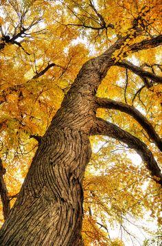 Katsura tree at Highland Botanical Park in Rochester, Monroe County NY