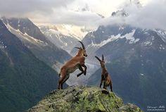Two adolescent male Alpine Ibex´s bucking above Chamonix, France. The Alpine ibex historically ranged through France, Italy, Switzerland, Liechtenstein, Bavaria, Austria and Slovenia. -via Avantgardens