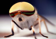Striped horse fly