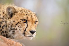 The piercing eyes of a cheetah are captivating. Their ability to spot prey from long distances is astonishing.  (Marlon du Toit, Field Guide @ Singita Sabi Sand)