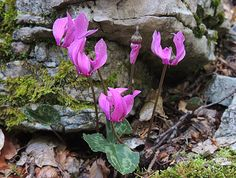 """Hello, hope you like these little wild cyclamens  .... I will be out all day....coming back late tonight....Greetings.... ♥♥♥ Cyclamen is Medieval Latin, from earlier Latin cyclamīnos,[6] from Ancient Greek κυκλάμινος, kyklā́mīnos (also kyklāmī́s), probably from κύκλος, kýklos """"circle"""", because of the round tuber. In English, the species of the genus are commonly called by the genus name. In many languages, cyclamen species are colloquially called by a name like the English sowbread..."""