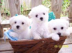 Basket full of beautiful Maltese puppies! Maltese Puppies For Sale, Maltese Dogs, Baby Puppies, Baby Dogs, Cute Puppies, Cute Dogs, Dogs And Puppies, Teacup Maltese, Doggies