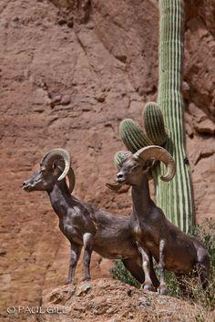 Two Male Desert Bighorn Rams, Bronco Butte, Superstition Wilderness,  Arizona..  paulgillphoto.zenfolio.com/ © All Rights Reserved.