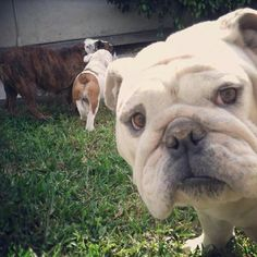 What is that? Oh a picture!! I want..no no no I HAVE to be on it !! #photoboomb #bulldog #bulldogsofinstagram #animals #lol #instabullies