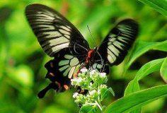 The Top 10 Rare or Endangered Butterflies: Atrophaneura jophon