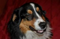 Chaz is an adoptable Australian Shepherd Dog in Three Forks, MT. ? Chaz is a lovely 1 year old male tricolor Australian Shepherd. For more information and pictures of this dog or to fill out an adopti...