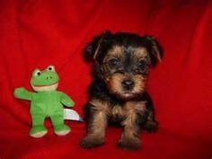 Teacup Yorkie Poo Puppies yorkiepoo info, temperament, training, diet ...