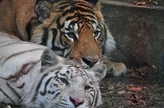 Tiger di BabyStella