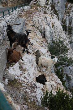 Goats at Gorges du Verdon, France