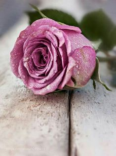 The rose by Susanne Arousell on Wallpaper Nature Flowers, Flowers Nature, Flower Wallpaper, Beautiful Bouquet Of Flowers, Love Flowers, Beautiful Roses, Happy Morning, Good Morning Greetings, Tuesday Morning
