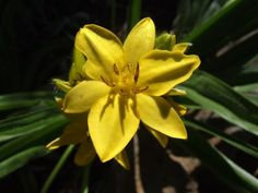 Hypoxis hemerocallidea (African potato) has been used as a traditional medicine in South Africa and probably the best known muti plant in the country. Star Flower, Plants, Medicinal Plants, Fynbos, Perennials, Garden Plants