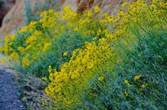 Arizona's Beautiful Desert Wildflowers: Desert Wildflowers at Bartlett Lake 04