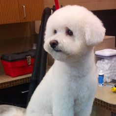 Calm, clean and elegant. Snowball reminds us of all the reasons we love grooming. #carmelvalley #bichon #sandiego #dirtydogs