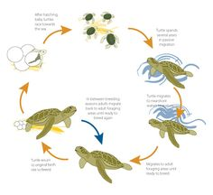 Life cycle of a Green Turtle