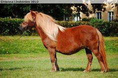 Shetland Pony - mare Pearl v.t Heut
