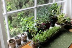 Windowsill Herbs Growing Herbs Indoors, Healthy Herbs, Herb Recipes, Herb Garden, Herbal Remedies, Perennials, Landscape Design, Herbalism, Planter Pots