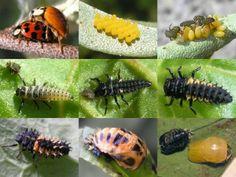 Fasi vitali della coccinella - Ladybug circle of life