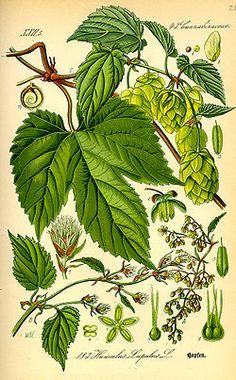 Illustration Humulus lupulus0.jpg
