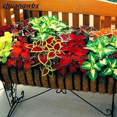 Product Type: BonsaiSize: SmallClimate: TemperateUse: Indoor PlantsLocation: BalconyType: Foliage PlantsStyle: BiennialFull-bloom Period: SummerBrand Name: chua
