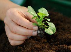Les jeunes plants, une technique innovante qui a fait ses preuves