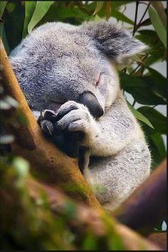 Baby koala don't care, baby koala is tired. - Imgur