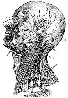 Рис. 266. Лимфатические узлы и сосуды головы и шеи. 1 - передние ушные узлы; 2 - задние ушные узлы; 3 - затылочные узлы; 4 - верхние шейные узлы; 5 - надключичные узлы; 6 - подчелюстные узлы