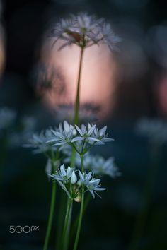 Good night! - Wild garlic-Allium ursinum in the forest.