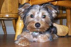 """The Yorkshire Terrier has been described as """"energetic, brave, loyal and clever,"""" by Dog Breed Info but they forgot down right adorable!"""