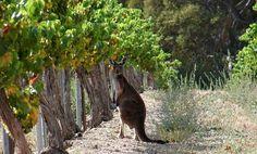 Viñedos de Australia :)