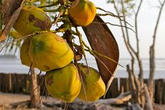 Kokosnüsse am Strand des Islanda Eco Village Resorts auf Koh Klang, Krabi, Thailand Krabi, Island, Thailand, Coconut, Fruit, Food, Block Island, Meal, The Fruit