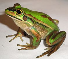 A Green and Golden Bell Frog, one of the species affected by this parasite.